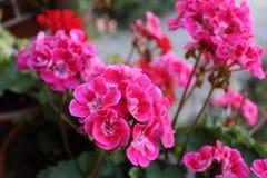 Schöne rote Muskatellertraubenpelargonien blühen mit grünem Hintergrund im Garten Selektiver Fokus Abschluss oben Unscharfer Hint Lizenzfreie Stockbilder