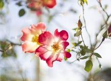 Schöne rote rosafarbene Blume an einem sonnigen warmen Tag lizenzfreies stockfoto