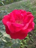 Schöne rote Rose stockbilder