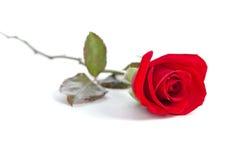 Schöne rote Rose Stockbild
