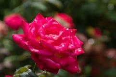 Schöne rote Rose Lizenzfreies Stockbild