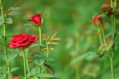 Schöne rote Rose stockfotos
