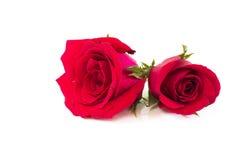 Schöne rote Rose Stockfotografie