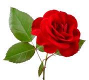 Schöne rote Rose mit Blättern auf weißem Hintergrund Stockfotos