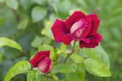 Schöne rote Rosen Stockfoto