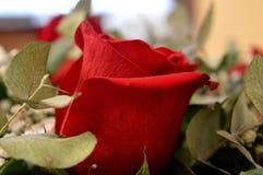 Schöne rote Rosen Eine Kombination der Schönheit und der subtilen Natürlichkeit stockfotografie