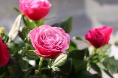 Schöne rote Rosen im Valentinstag Lizenzfreie Stockfotos
