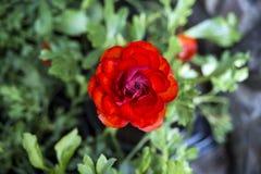 Schöne rote saftige einsame Blume - Butterblume Rotes Rot Ranunkulyus an einem sonnigen Tag im spanischen Stadtpark stockbilder
