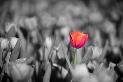 Schöne rote Tulpe Stockfotos