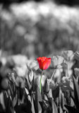Schöne rote Tulpe Lizenzfreies Stockfoto