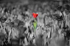 Schöne rote Tulpe Stockfoto