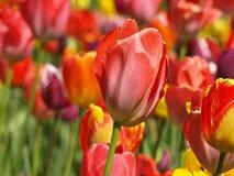 Schöne rote Tulpe in einem Tulpenfeld lizenzfreie stockfotografie