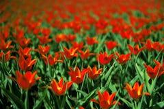Schöne rote Tulpen Lizenzfreies Stockfoto