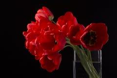 Schöne rote Tulpen Frech Lizenzfreie Stockbilder