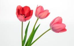 Schöne rote Tulpen lokalisiert auf Weiß Stockbild