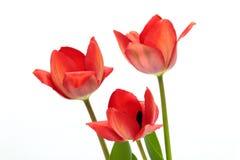 Schöne rote Tulpen lokalisiert auf Weiß Stockfotos