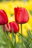 Schöne rote Tulpen mitten in gelben Tulpen Stockfotos