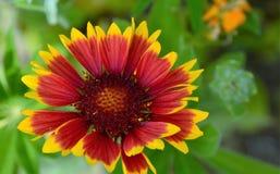 Schöne rote u. gelbe Sonnenblume Wildflowers Stockfotos
