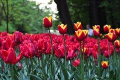 Schöne rote und orange Tulpen im Garten Stockbild