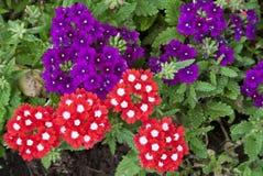 Schöne rote und purpurrote Verbeneblumen Lizenzfreies Stockbild
