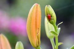 Schöne rote Wanze auf einer Blumenknospe Stockfotografie