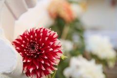 Schöne rote weiße Blume im Garten Lizenzfreie Stockbilder