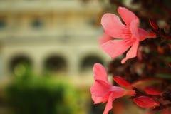 Schöne rote weiße Kirschblüte auf einem sonnigen dayBeautiful Sommer in Tunesien, rote Blumen einer Blüte an einem summer's Tag stockbild