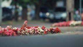 Schöne rote, weiße, rosa Blumen auf dem Blumenbeet in der Mittelstadt Transportwagenschuß, flache Tiefe des Feldes stock video
