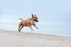 Schöne Rothaarige mit Miniläufen der weißen Terrierhunderasse galoppieren Stockbild