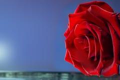Schöne Rotrose auf einem blauen Hintergrund stockbilder