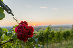 Schöne Rotrose bei Sonnenuntergang lizenzfreies stockbild
