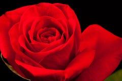 Schöne Rotrose getrennt auf Schwarzem Stockbild
