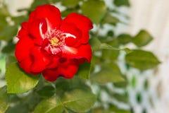 Schöne Rotrose mit Grün verlässt auf einem weißen Hintergrund Lizenzfreies Stockfoto