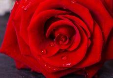 schöne Rotrose mit Tautropfen auf den Blumenblättern Stockbilder