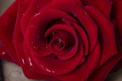 schöne Rotrose mit Tautropfen auf den Blumenblättern Stockfotografie