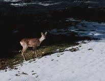 Schöne Rotwild in einer Schnee durchgesetzten Forderung stockfotografie