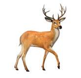 Schöne Rotwild mit großen Hörnern Lizenzfreie Stockfotos