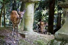 Schöne Rotwild in Nara-Schreinen Stockbilder