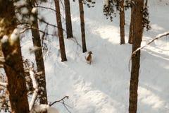 Schöne Ruhe und ruhiger gefrorener kalter Wintersaison-Schnee Landschaftsin der szene Breckenridges Colorado von Tannen-Kiefern i stockfoto