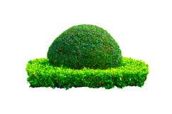 Schöne runde Form der grünen Hecke schnitt den Baum, der auf weißem Hintergrund lokalisiert wurde stockfotos