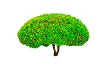 Schöne runde Form der grünen Hecke schnitt den Baum, der auf weißem Hintergrund lokalisiert wurde stockbild