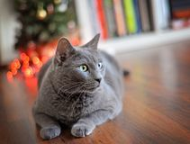 Schöne russische blaue Katze, die recht schaut Stockfoto