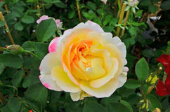 Schöne süße Farben der Blüte stiegen Lizenzfreie Stockbilder