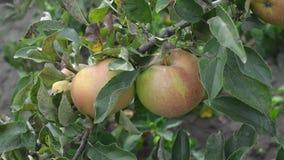 Schöne saftige organische Äpfel auf einem Baumast in einem Apfelgarten stock footage