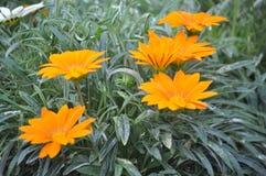 Schöne Schönheit der frischen Blumen der Blume der Natur Stockfoto