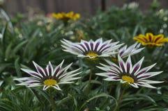 Schöne Schönheit der frischen Blumen der Blumen der Natur Stockfoto