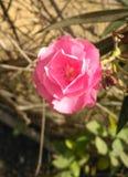 Schöne Schönheit des rosafarbenen Rosas Stockfoto