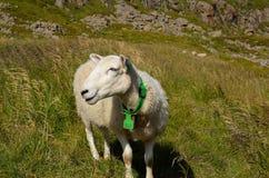Schöne Schafe auf grasartigem Feld nahe Seeufer Stockfoto