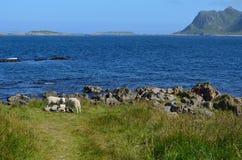 Schöne Schafe, die nahe blauem Sommerozean weiden lassen Lizenzfreie Stockfotografie