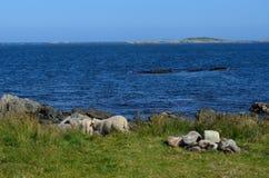Schöne Schafe, die nahe blauem Sommerozean weiden lassen Stockbilder